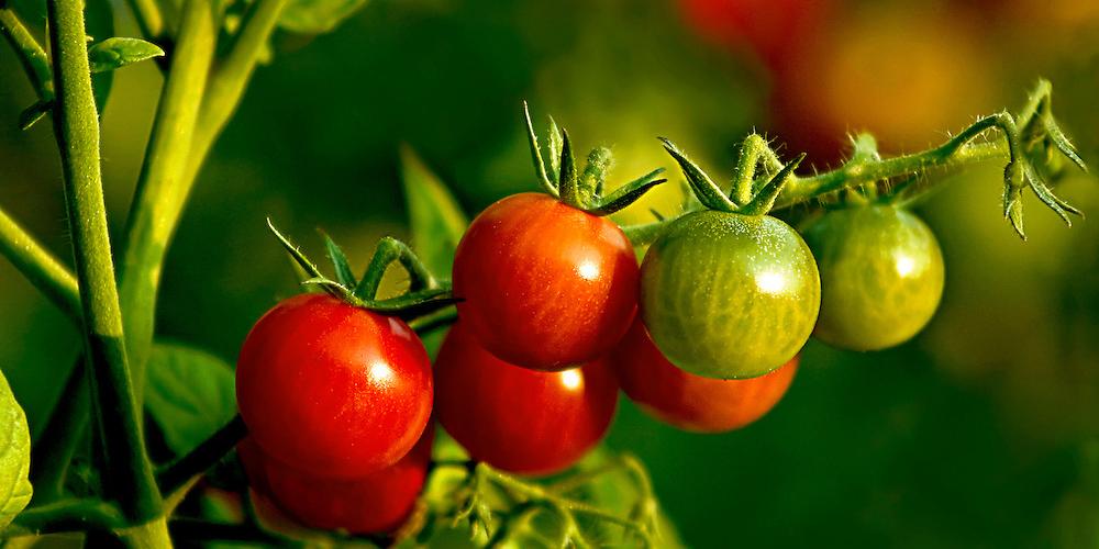 بهترین گوجه فرنگی