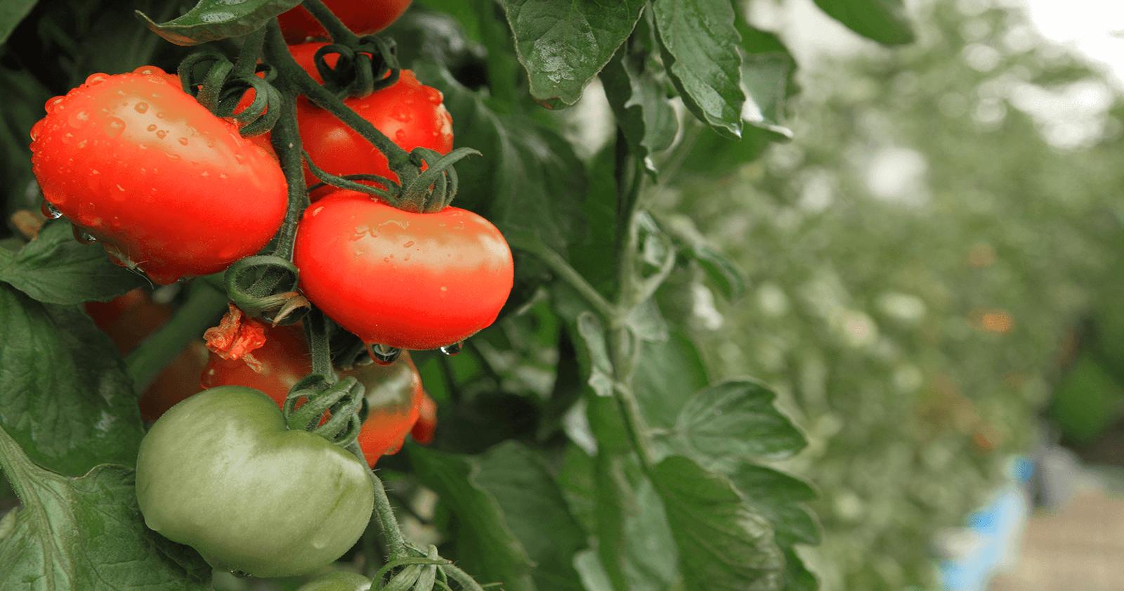 دلیل سبز بودن گوجه فرنگی